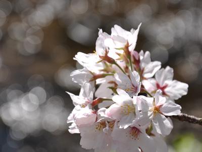 朝の桜 #5