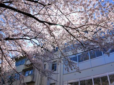 朝の桜 #6