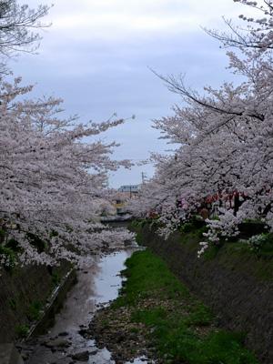 夕方の桜 #1