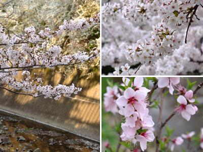 夕方の桜 #2