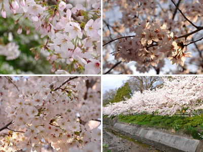 夕方の桜 #3