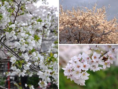 夕方の桜 #4