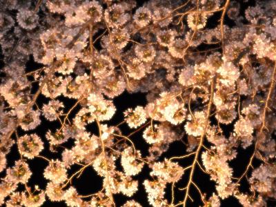 夜の桜 #1
