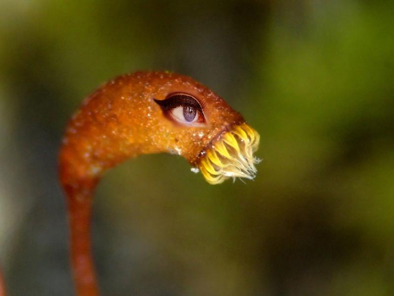 Haplocladuim microphyllum蒴歯と目