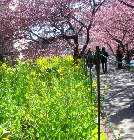 tnH27-02-27菜の花と河津桜 (1)_1