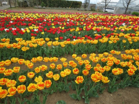 tnH27-04-06ハーブ庭園のチューリップ (5)