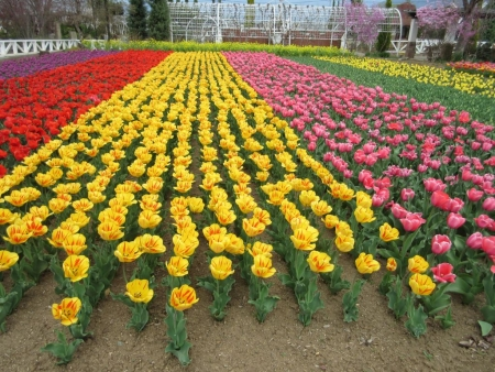 tnH27-04-06ハーブ庭園のチューリップ (9)