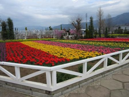 tnH27-04-06ハーブ庭園のチューリップ (8)
