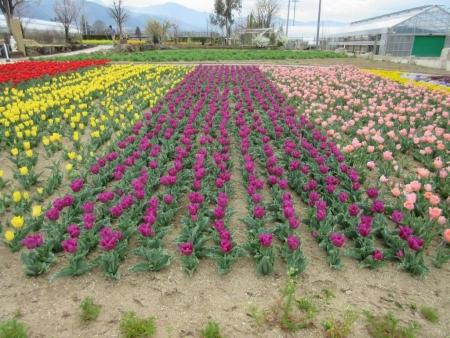tnH27-04-06ハーブ庭園のチューリップ (10)