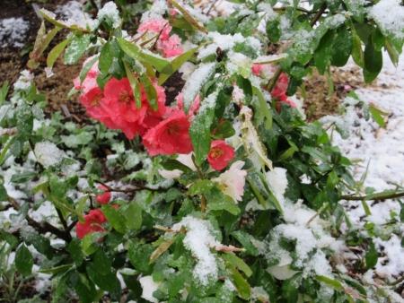 tnH27-04-08木瓜の雪 (2)
