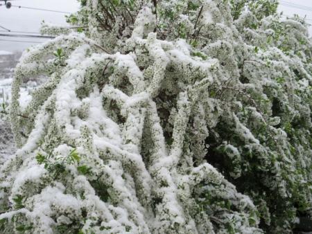 tnH27-04-08ユキヤナギの雪 (2)