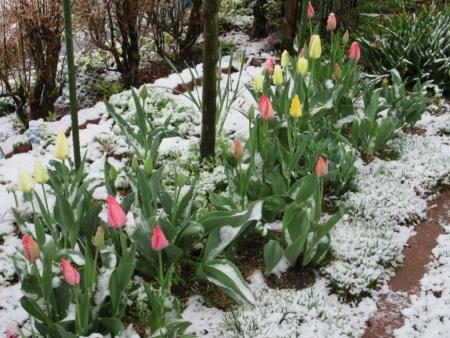 tnH27-04-08チューリップの雪 (1)