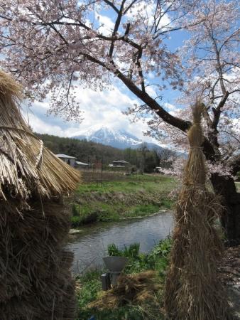 tnH27-04-23忍野_新名荘川と桜・富士山 (15)