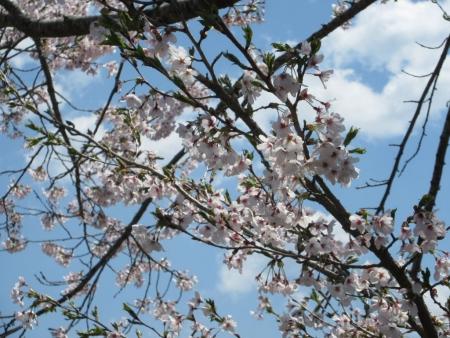 tnH27-04-23忍野_新名荘川と桜・富士山 (36)