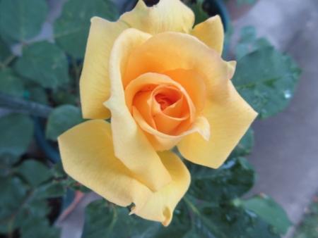 tnH27-05-16黄色いバラ_ニケ (8)
