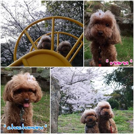 須磨浦公園の桜4