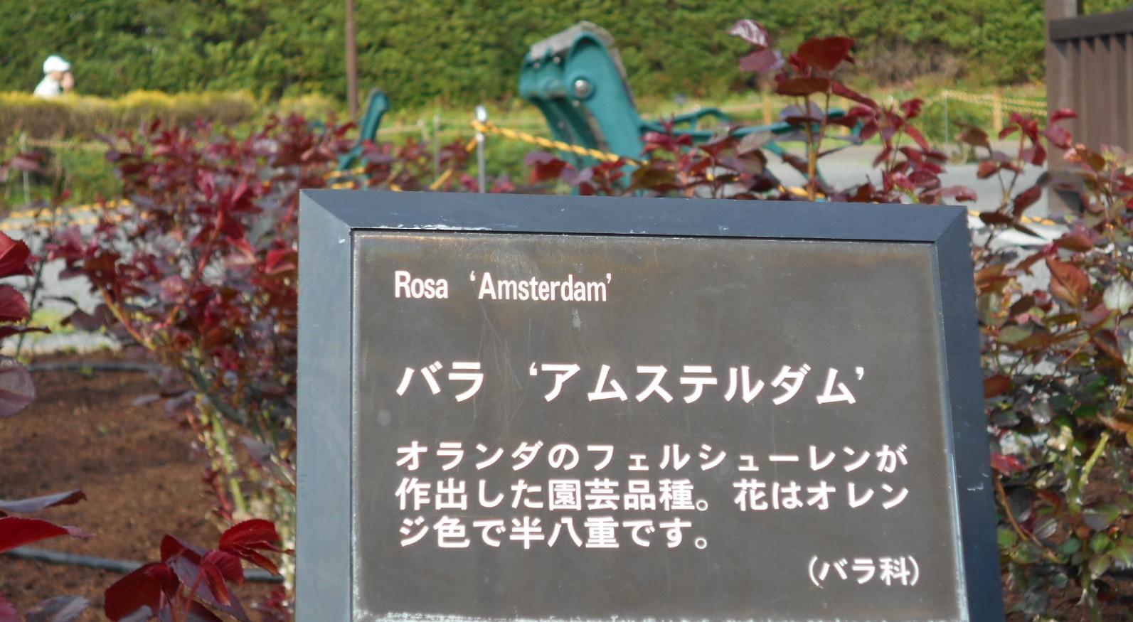 アムステルダム「薔薇」