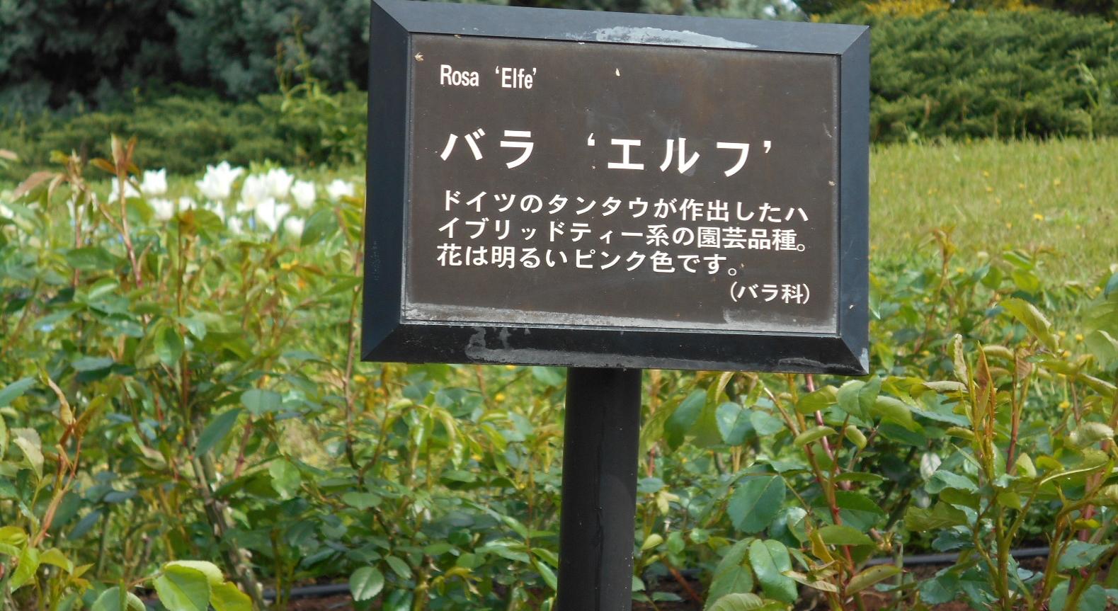 エルフ「薔薇」
