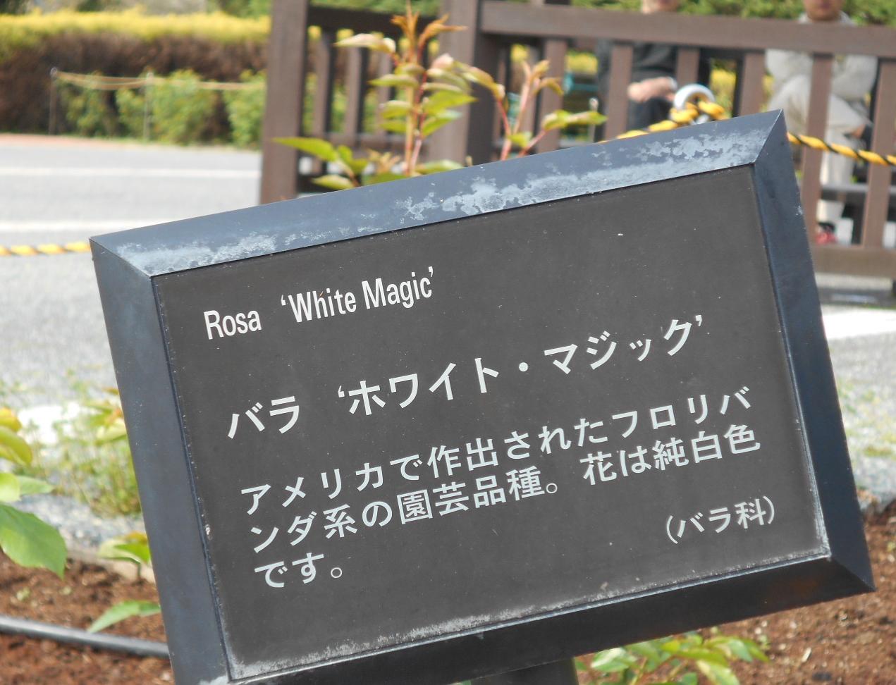 ホワイト・マジッツク「薔薇」