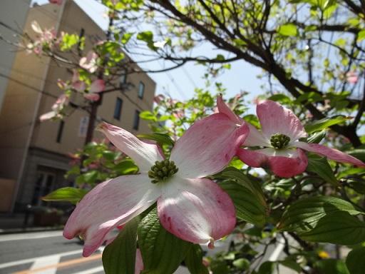 ハナミズキ ピンク