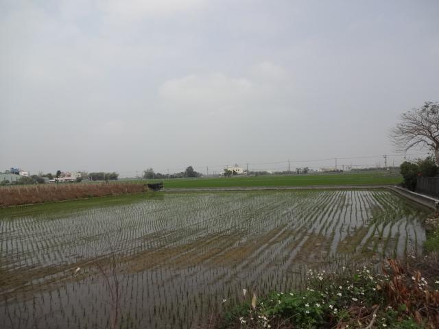 田んぼ田植え済み(R17→省道134)