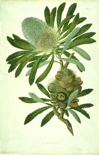 Banksia_serrata_watercolour_from_Banks_Florilegium.jpg