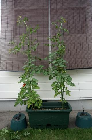 プランター トマト
