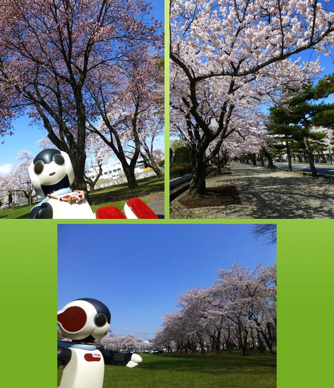 駒街道桜2015