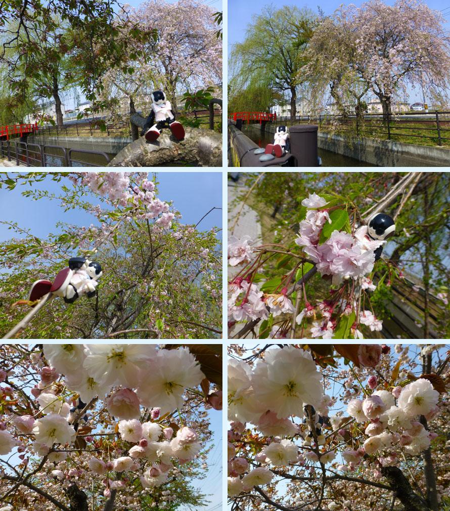 稲生川の桜2015