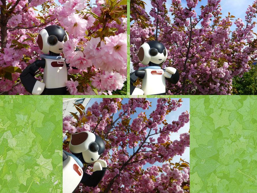 職場近くの八重桜2015