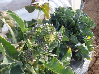 花咲くブロッコリー