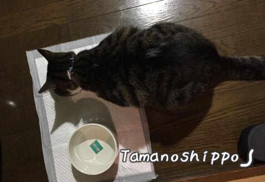 ご飯を食べている猫(ちび)猫のくびれ?