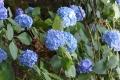 紫陽花稲荷山1
