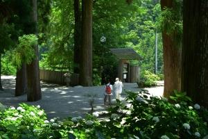焼山寺アジサイ
