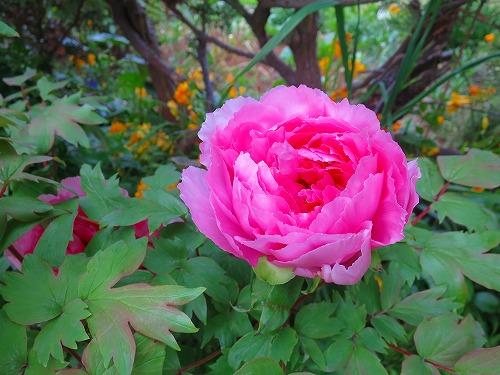 ピンクの牡丹1