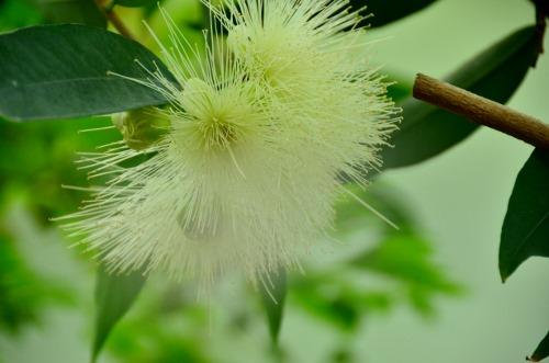 フトモモの花1