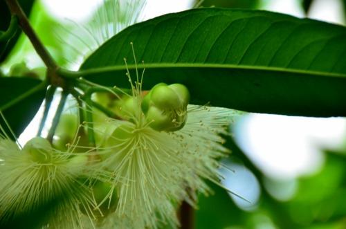 フトモモの花3