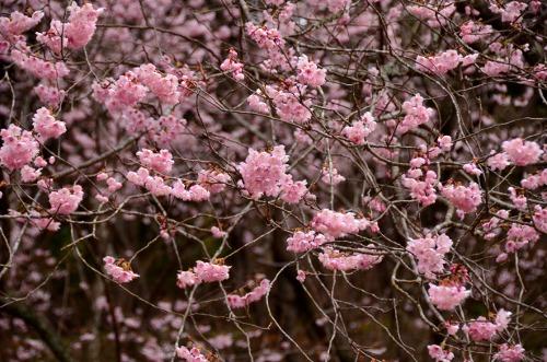 初御代桜7