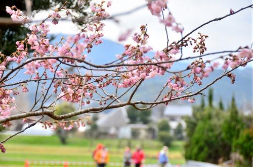 初御代桜6