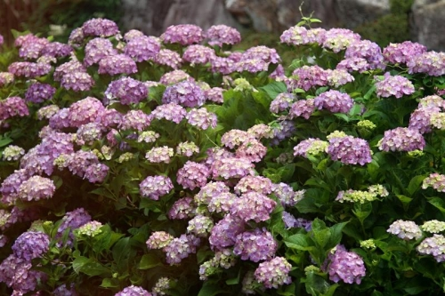 IMG_3590 紫陽花