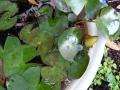 ナンフェア 睡蓮の蕾