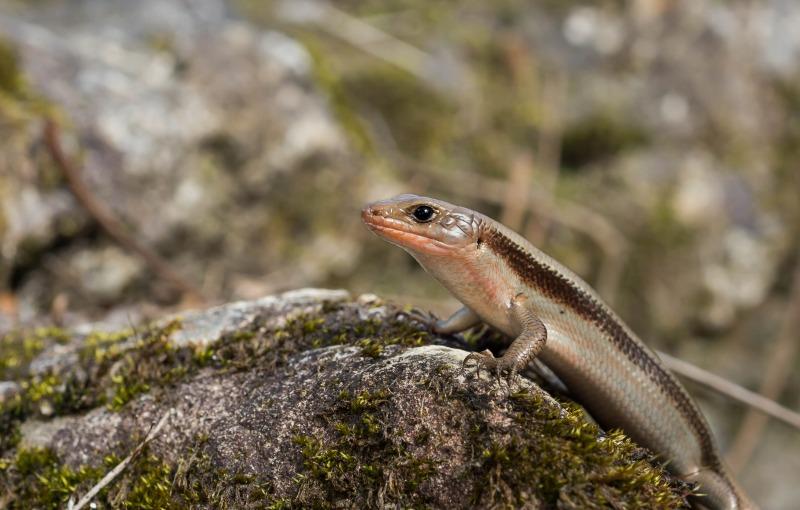 ニホントカゲ Plestiodon japonicus