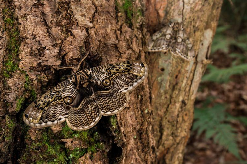イボタガ Brahmaea japonica