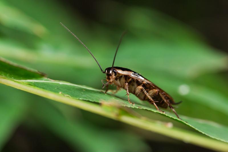 モリチャバネゴキブリ Blattella nipponica