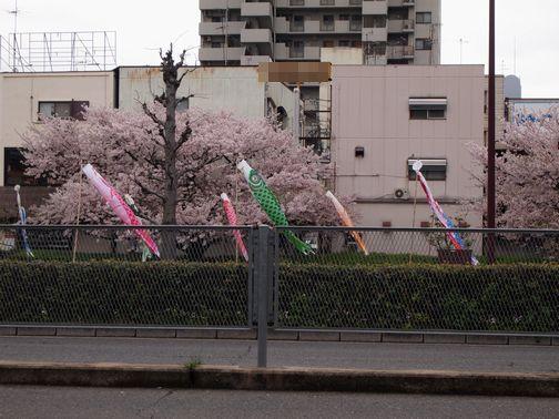 sakura_201504051305487fd.jpg