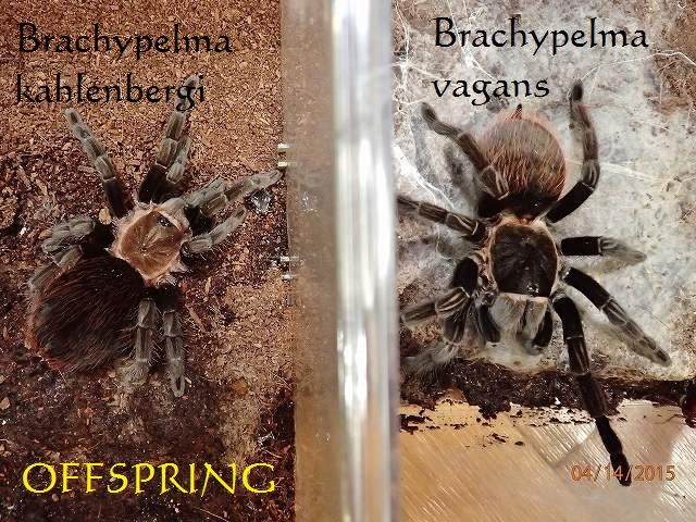 Brachypelma