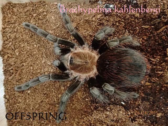 Brachypelma kahlenbergi 01