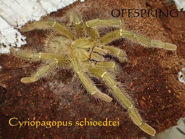 Cyriopagopus schioedtei01male