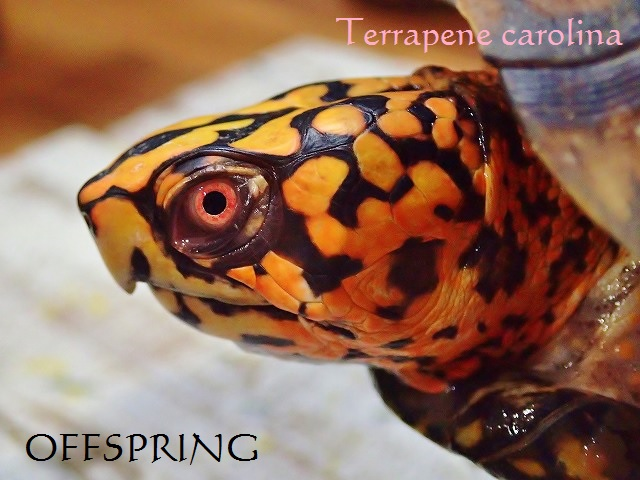 Terrapene carolina02