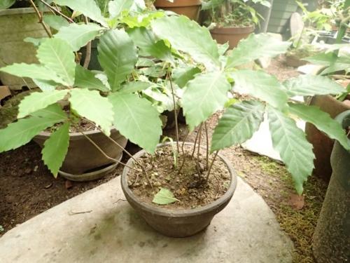 コナラ雑種